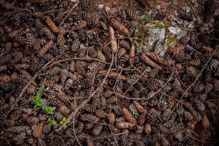 Grankogler i skovbunden