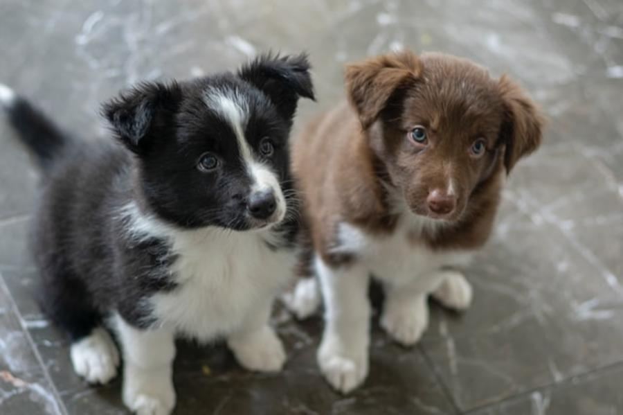 To hundehvalpe