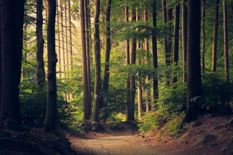 Skovsti med mange høje træer
